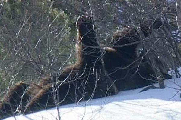 Les trois oursons sont nés en 2011, dans les Pyrénées.