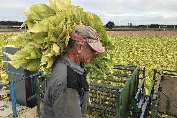 Récolte du tabac à Chemillé en Anjou, le 8 septembre 2020