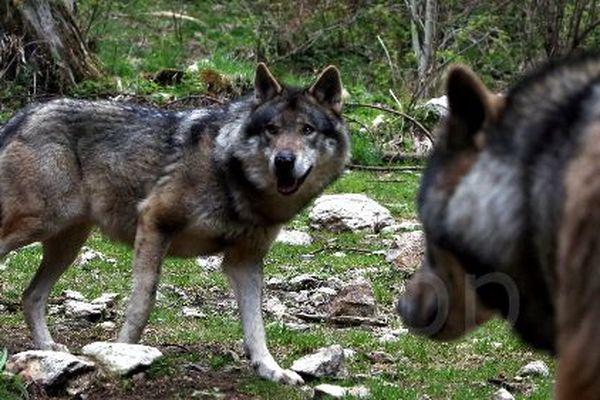 En sud-Aveyron, l'implantation de vaches dans certains troupeaux pour dissuader les loups est testée.