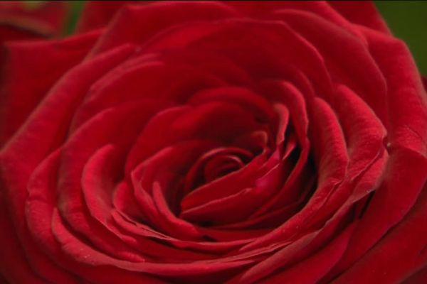 La fêtes des amoureux fait le bonheur des fleuristes.