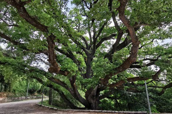 L'arbre mesure environ 16 mètres de haut