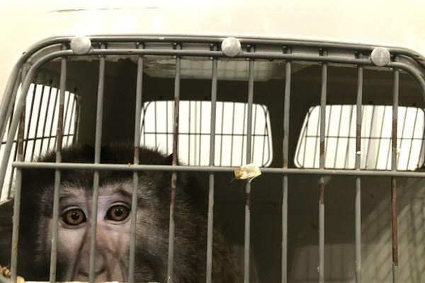 Sept singes viennent d'être recueillis par le zoo-refuge La Tanière en Eure-et-Loir.