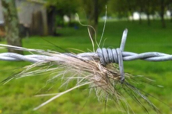 Des poils ont été retrouvés dans les barbelés de la clôture. Ils vont être analysés.