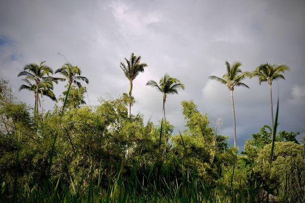 Palmiers à Saint-Paul, île de La Réunion
