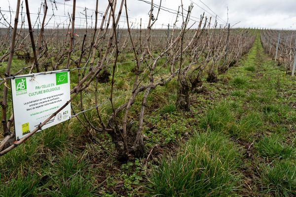 Les vignes des frères Collet, en conversion à l'agriculture biologique. Signe de la conversion, les rangs sont enherbés à cette période de l'année.