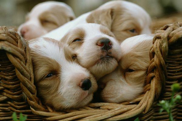 Des Epagneuls dormant dans un panier en osier.