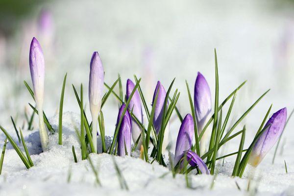 Boutons de crocus dans la neige...