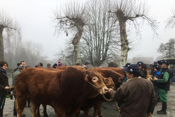 Sélection des Limousines à Lubersac pour salon de l'agriculture 2019