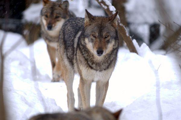 Ariège : 5 brebis tuées par un loup à Moulin-Neuf