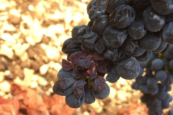 Dans les vignes, des baies sont flétries à cause du manque d'eau.