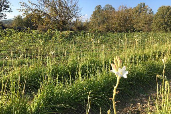 La tubéreuse est une des fleurs récoltées dans le pays grassois.