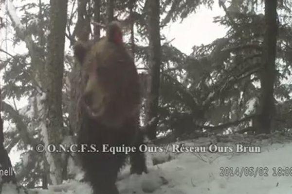 L'ourse slovène Hvala