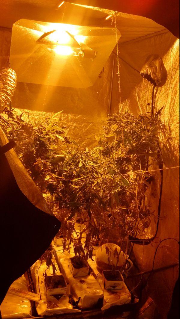 Le retraité nazairien avait 4 chambres de culture de cannabis chez lui