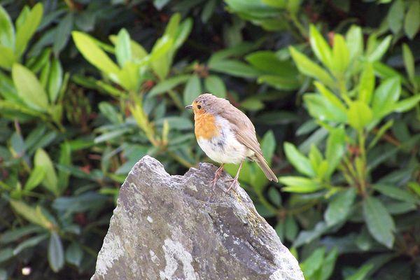 Les rouges-gorges et autres petits oiseaux condamnés à disparaître ?