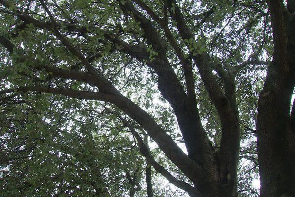Le chêne centenaire risque d'avoir ses racines sectionnées par les travaux