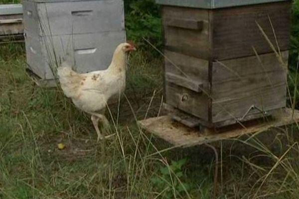 Les abeilles sont ravies, depuis trois ans, leur propriétaire a placé les ruches dans le poulailler ou inversement. Les abeilles sont en sécurité face aux attaques de frelons, car les poulets veillent, rodent et interpelle par bec interposé les dangereux intrus.