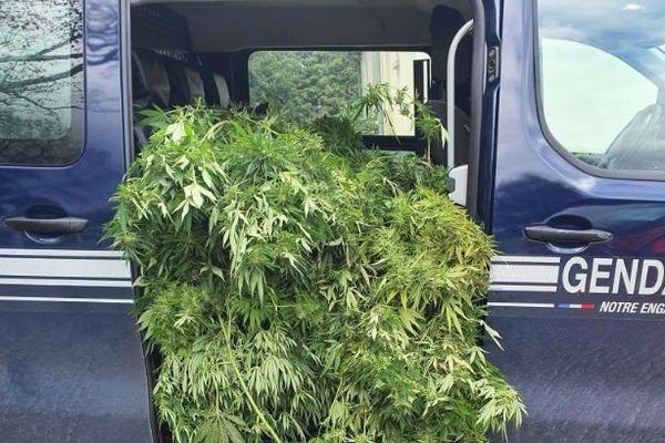 Les gendarmes du Calvados saisissent 20 pieds de cannabis chez un particulier