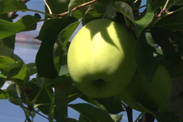Une récolte 2020 des pommes du Limousin en demi-teinte