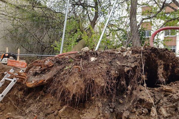 Des pruneliers ont été déracinés selon les riverains