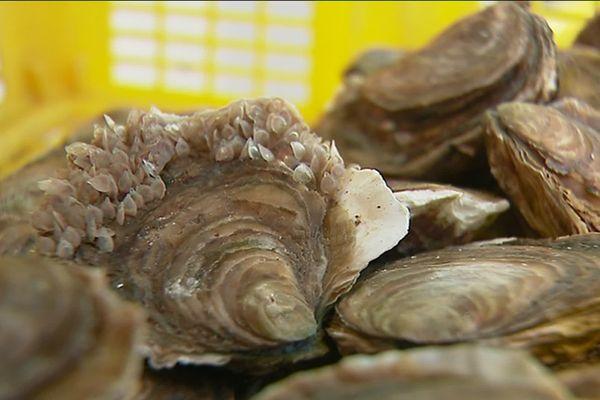 Des huîtres impropres à la consommation dans les rivières du Morbihan où il est interdit de les commercialiser.