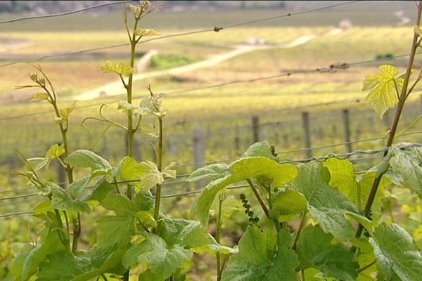 Les Climats de Bourgogne : patrimoine immatériel classé à l'Unesco en 2015
