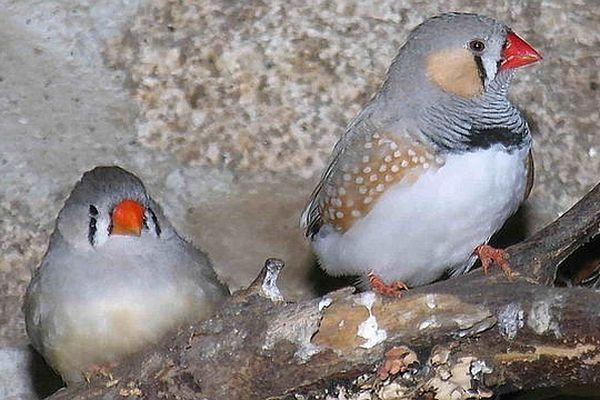 Originaire d'Australie, le Diamant mandarin est un oiseau de compagnie répandu.