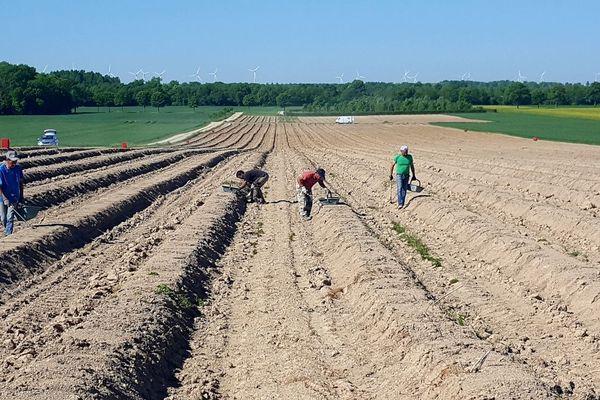 La récolte de l'asperge à Vésigneul-sur-Marne (51) en mars 2019. (Archives)
