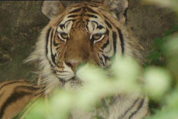 La tigresse Laïca avait 13 ans.