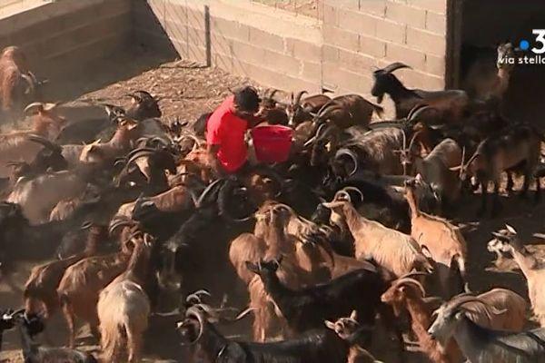 Chiatra (Haute-Corse) - Après l'incendie qui a coûté la vie à son troupeau, Michel Marty a pu reprendre sa vie de berger grâce à un élan de solidarité.