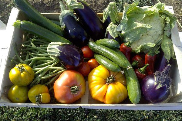 Légumes produits par Olivier Dougy à Verneuil-sur-vienne dans le cadre des tests mis en place par Limoges Métropole.