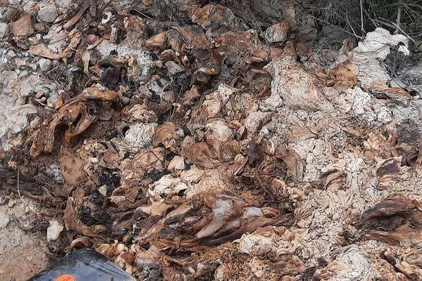 Carcasses de sangliers en bord de Garonne