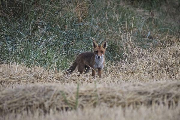 Un renard roux près de Chinon le 20 juillet 2020.