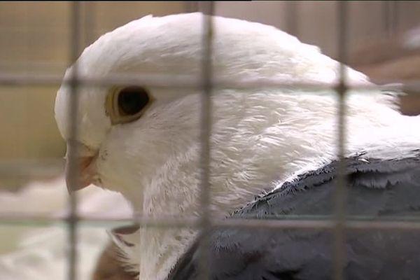 Neuf cent-quarante pigeons participent au championnat de France à Argenton-sur-Creuse. Les amateurs vont pouvoir découvrir les plus beaux spécimens de cette race, jugés par une douzaine de spécialistes.