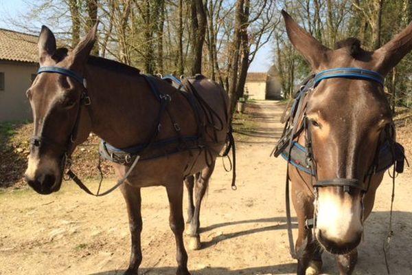 Vénus et Reinette, les deux mules poitevines de l'Asinerie de Dampierre, vont à Paris pour gagner.