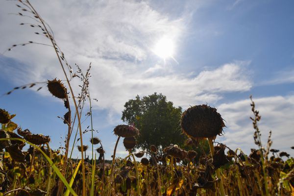 Tournesols mûrs et prêts à être fauchés en ce début septembre encore bien ensoleillé.