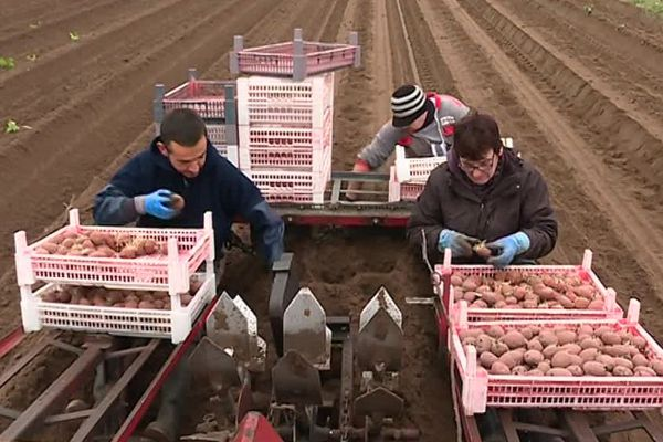 Plantation de pommes de terre sur l'île de Noirmoutier