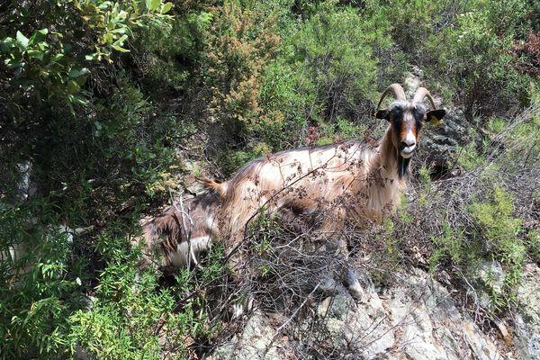 Illustration : sur le chemin de Nonza à Olmeta di Capi Corsu, un troupeau de chèvres rejoint sa bergerie...