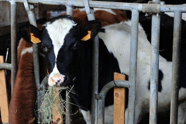 Illustration d'un élevage de vaches dans le département de la Loire