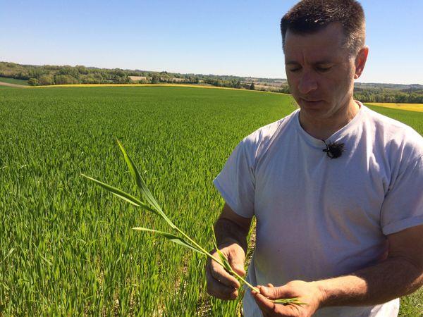 Jean-François Poupard examine son blé