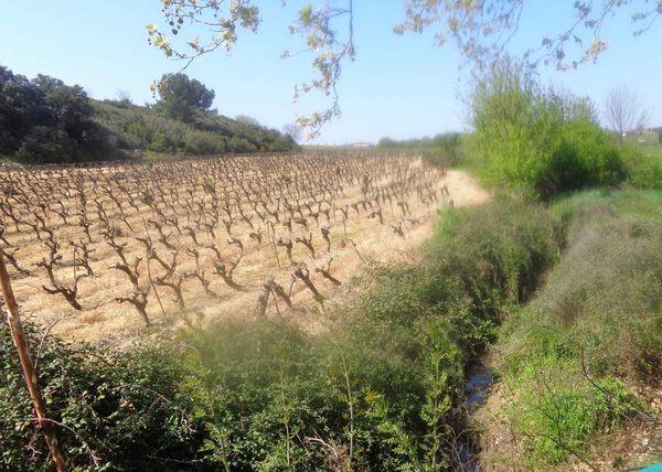 Une vigne traitée aux pesticides, beaucoup trop près d'un ruisseau selon la FNE, près de Gignac dans l'Hérault.
