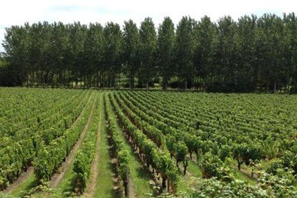 Si le soleil montre le bout de son nez jusqu'à la fin du mois d'août et en septembre, les résultats devraient être bons pour les viticulteurs.