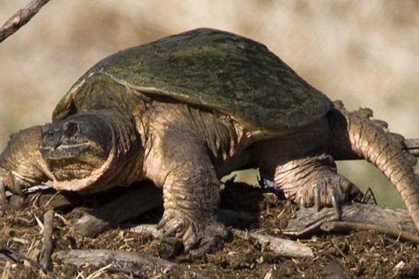 C'est une tortue semblable à celle-ci qui a été retrouvée près du Thoré.