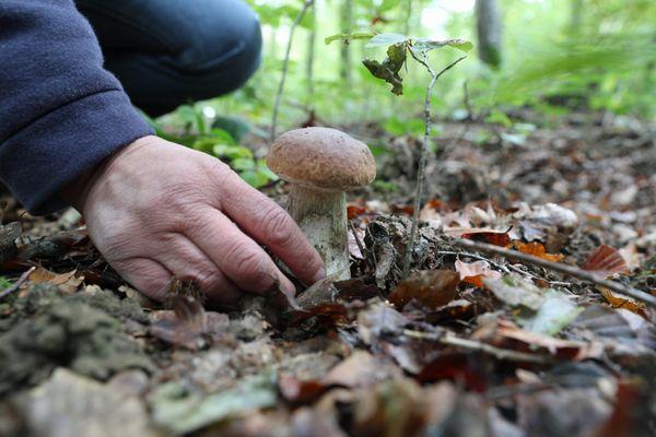 Depuis le début de la saison des champignons en Alsace, les cas d'intoxication augmentent.