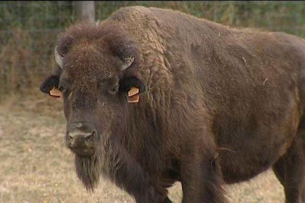 Ce bison d'Amérique broute l'herbe de l'Allier. Il est élevé pour sa viande peu grasse et riche en protéines.