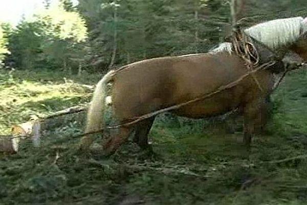Plateau du Roi (Lozère) - Débardage à cheval dans les forêts et tourbières - août 2013.