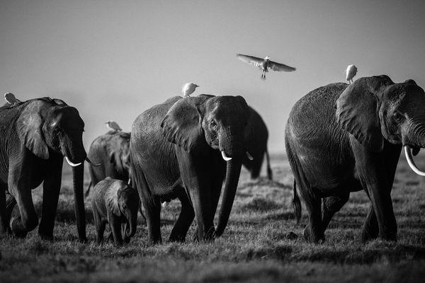 1689-Elephant-Flying over giants, Kenya 2015