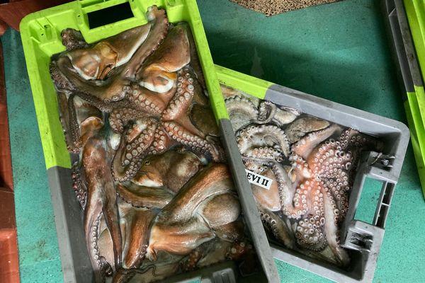 A La criée, le chiffre d'affaire de la vente de poulpe avoisine déjà près de 200 000 euros en 2021.