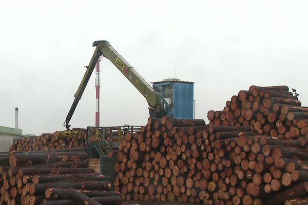 Le pin landais est de plus en plus convoité pour la qualité de son bois.