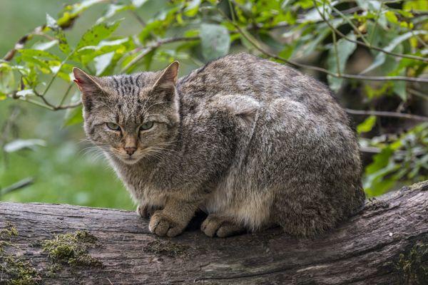 Le chat forestier d'Europe ressemble beaucoup à un chat domestique.
