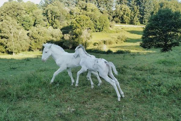 Kairaan et Kaïs de l'Atlas, deux poulains de Haute-Vienne, sont porteurs d'un nouveau gêne, le DW30.